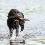 labrador-in-water-with-stick-dog-photographer