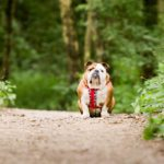 bulldog-sits-in-park-dog-photographer