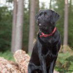 dog photographer nottingham labrador on wood
