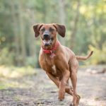 rhodesian-ridgeback-running-dog-photographer