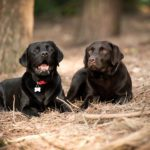 labradors-in-the-woods-dog-photographer
